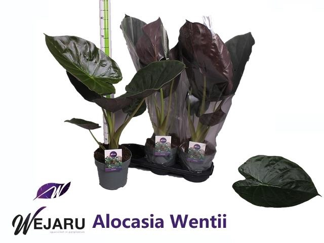 <h4>ALOC WENTII</h4>