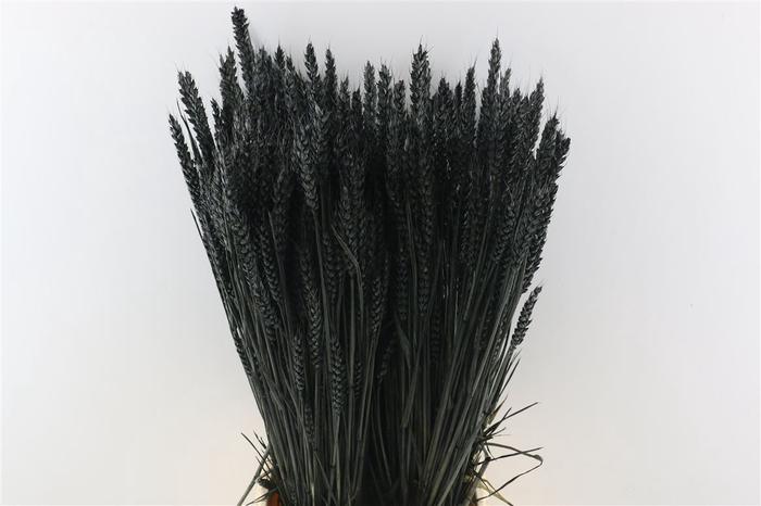 <h4>Dried Triticum Black</h4>