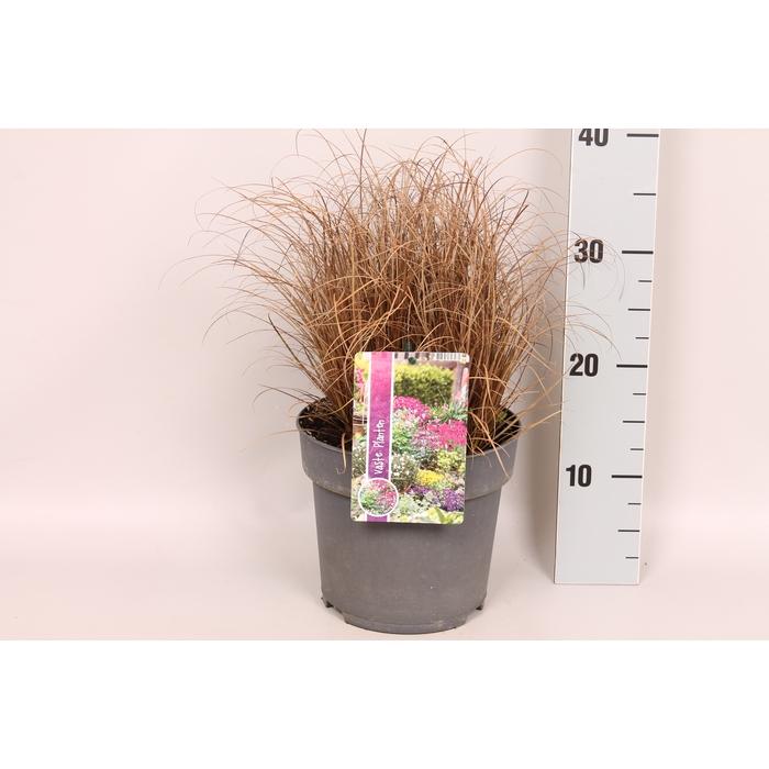 <h4>vaste planten 19 cm  Carex Bronzola</h4>