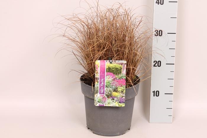 vaste planten 19 cm  Carex Bronzola