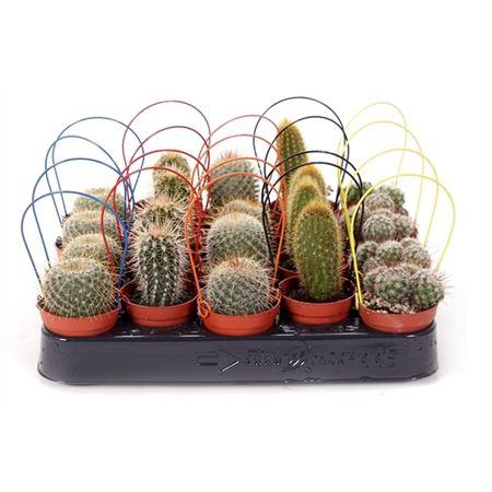 <h4>Cactus 5,5 Cm Met Gekleurde Boog</h4>