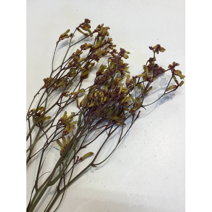 <h4>DRIED FLOWERS - ANIGOZANTHUS GOLD FEVER 5PCS</h4>