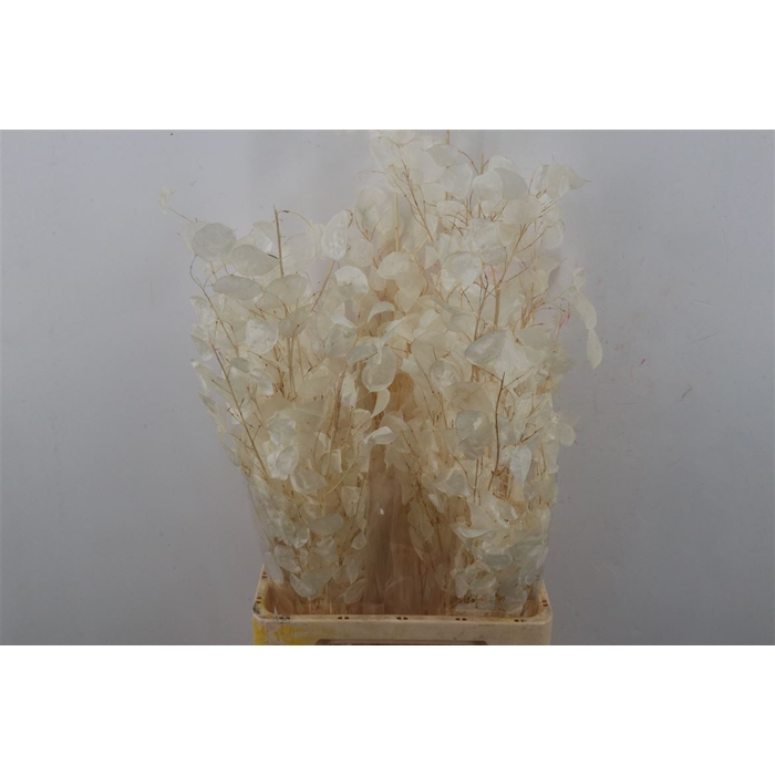 <h4>DRIED FLOWERS - LUNARIA NATURAL BLEACHED</h4>