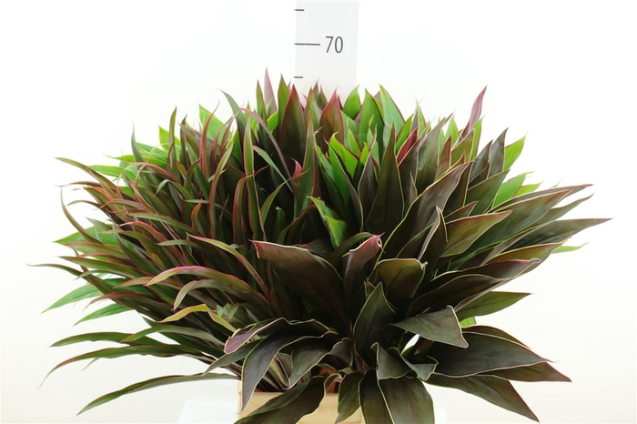 <h4>Cordyline Spec Mix Top</h4>