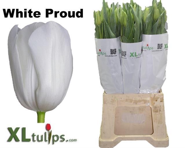 <h4>TU EN WHITE PROUD</h4>