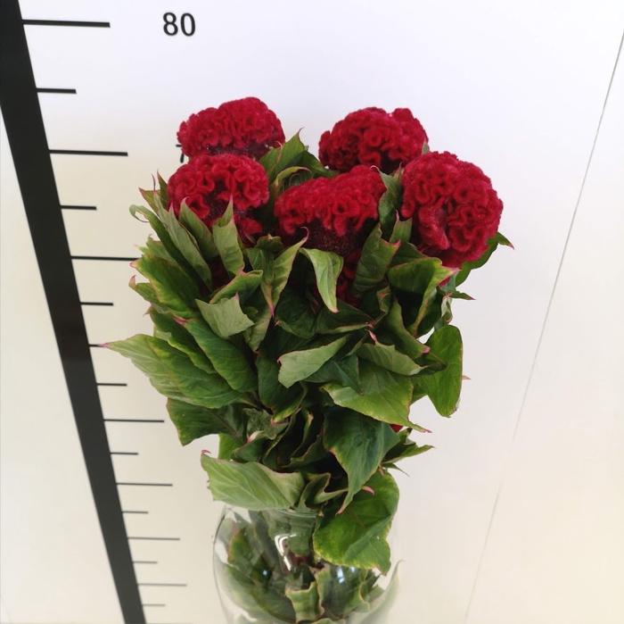 <h4>Celosia cristata roja</h4>
