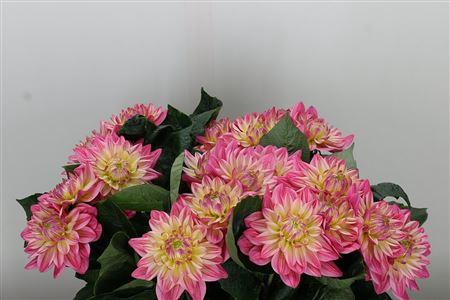 <h4>Dahlia Pink Magic Striped</h4>