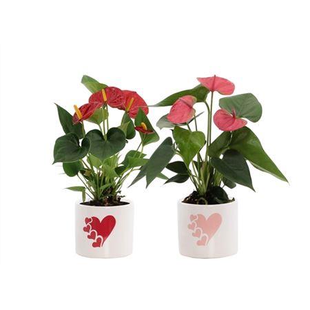 <h4>Anthurium Rood-roze Mix In Fien Keramiek - Soft Il</h4>