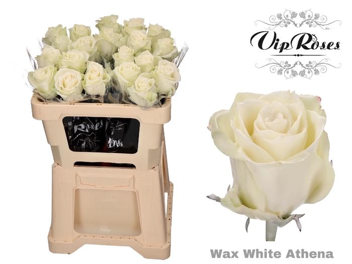 <h4>R GR WAX WHITE (ATHENA)</h4>