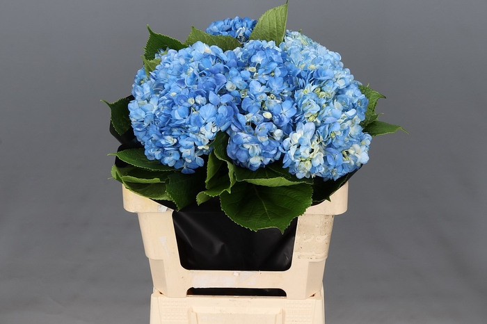 <h4>Hydrangea Shocking Blue Select</h4>