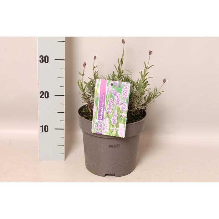 <h4>vaste planten 19 cm  Lavendel angustifolia</h4>