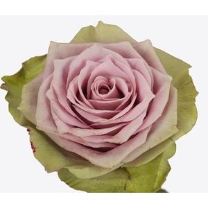 Rosa large flowered Samantha's Bridal