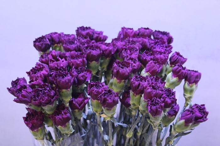 <h4>Dianthus Moontea</h4>