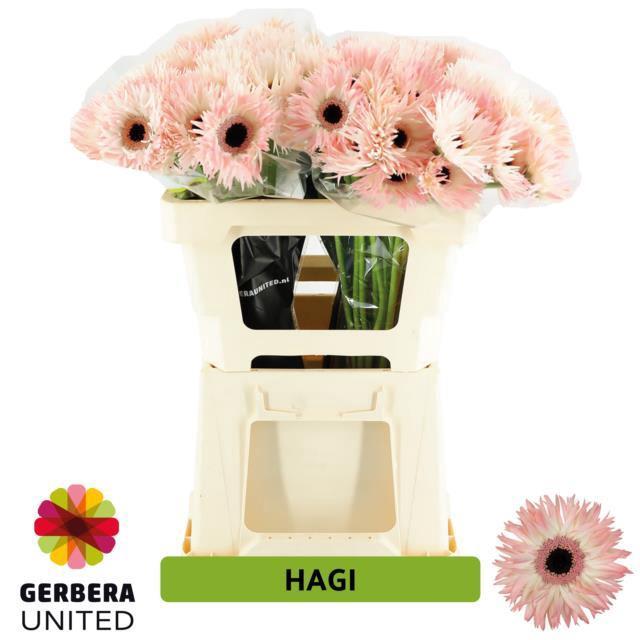 <h4>GE MS HAGI</h4>