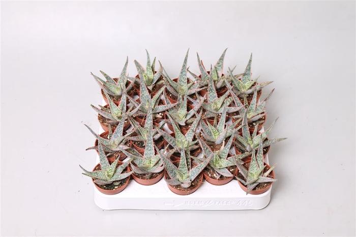 <h4>Aloe  'Pink Blush'</h4>