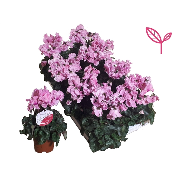 <h4>Cyclamen-Special- Merengue Roze</h4>