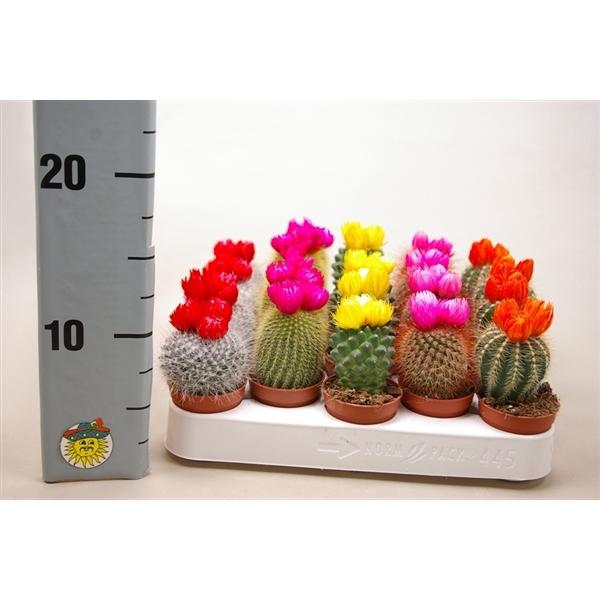 <h4>Cactus op rij 5,5 cm. met 3 plakbloemen</h4>