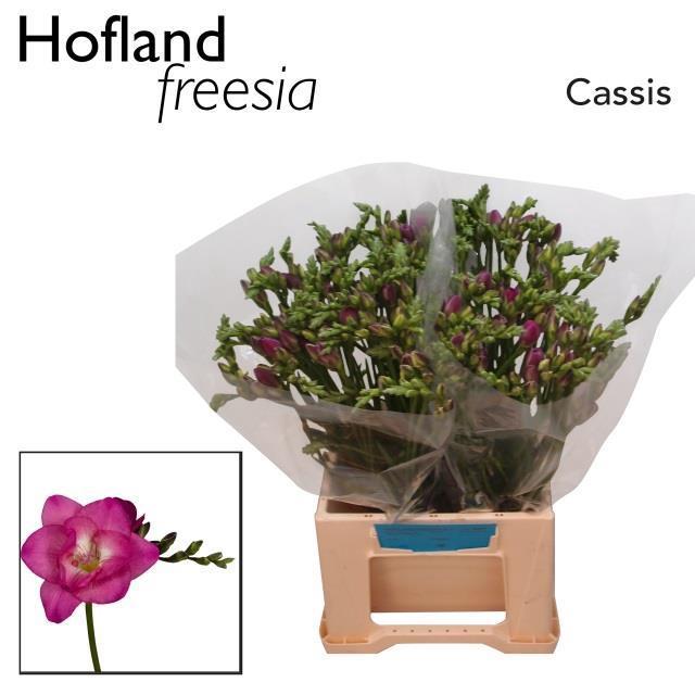 <h4>FR DU CASSIS</h4>