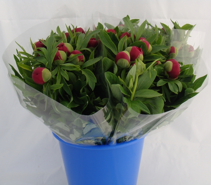 <h4>PAEONIA RED CHARM</h4>