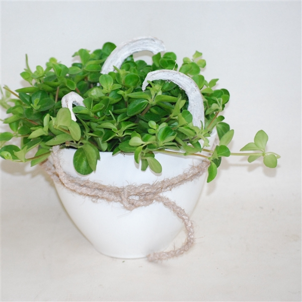 <h4>325 ROT Ovale pot 15cm Pep.Rotundifolia</h4>