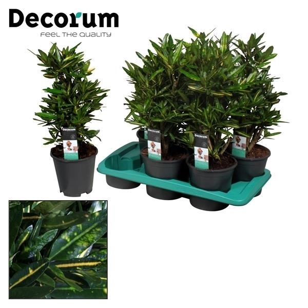 <h4>Croton Sunny Star vertakt (Decorum)</h4>