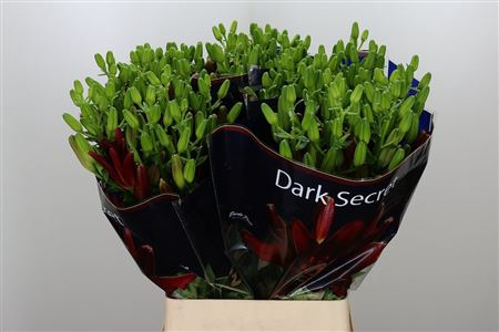 <h4>Li Az Dark Secret Dark Red</h4>