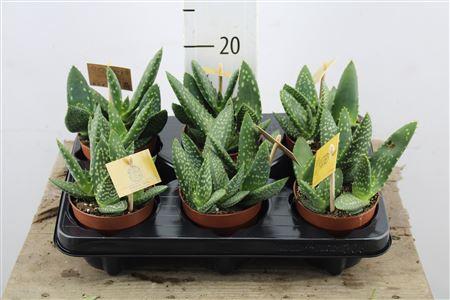 <h4>Aloe Paradisicum</h4>
