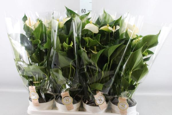 <h4>Anthurium andr. 'White Champion'</h4>