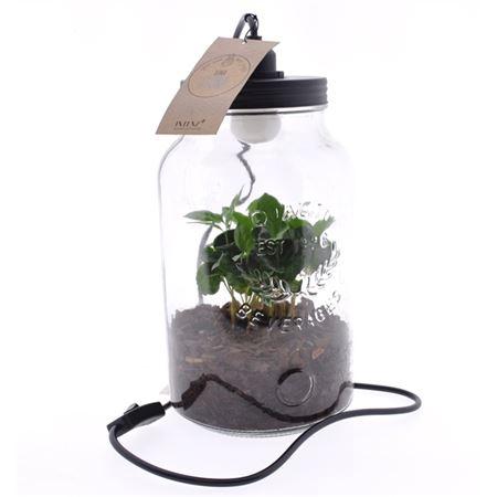 <h4>Arr Coffea Arabica Glas Luma Flora + Lamp</h4>