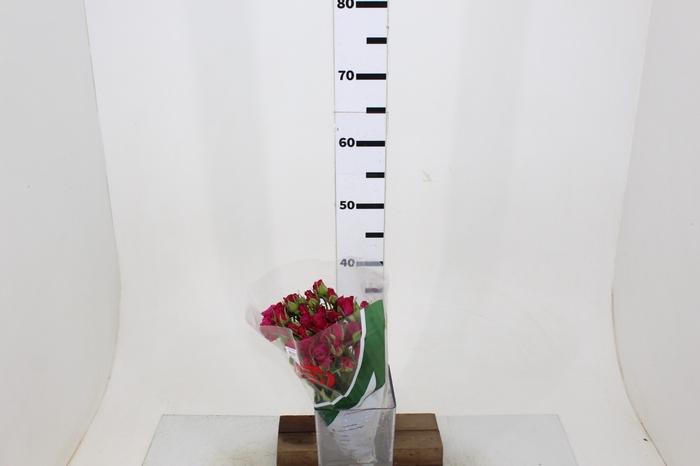 <h4>ROSA SPRAY GLORIOUS 040 CM</h4>
