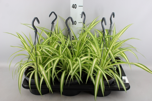 <h4>Chlorophytum com. 'Variegatum'</h4>