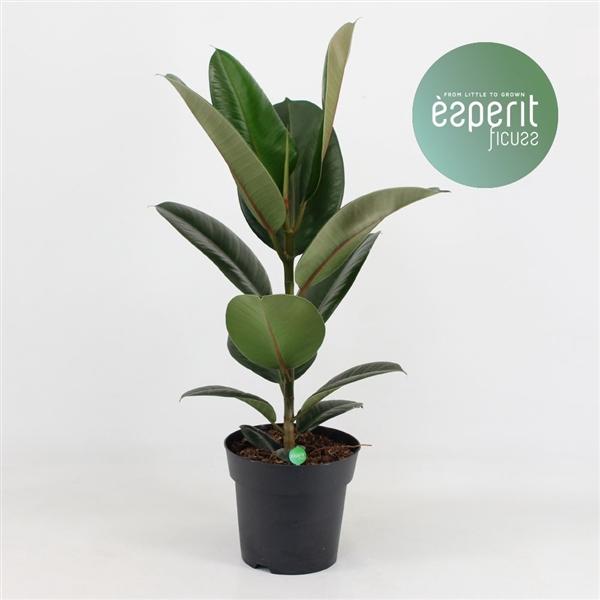 <h4>Ficus el. Robusta</h4>