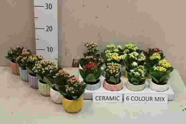 <h4>Kalanchoe blossfeldiana calandiva mix 7Ø 8cm</h4>