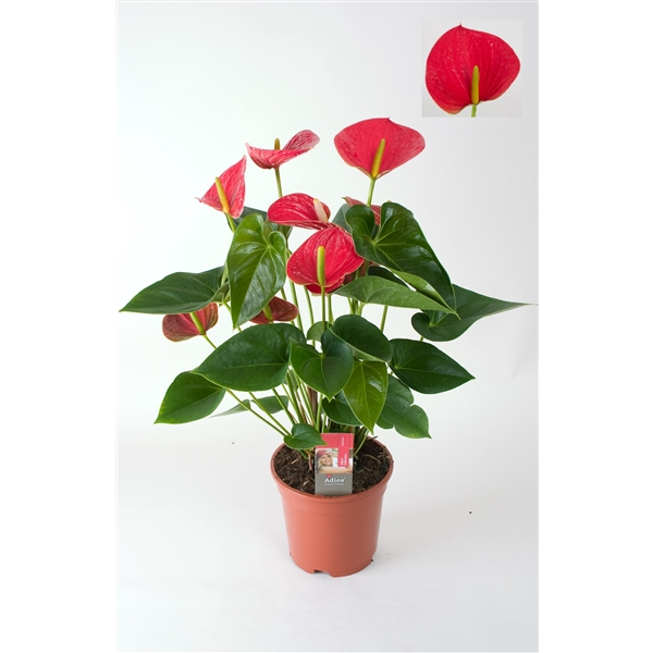 <h4>Anthurium Fancy Fever</h4>