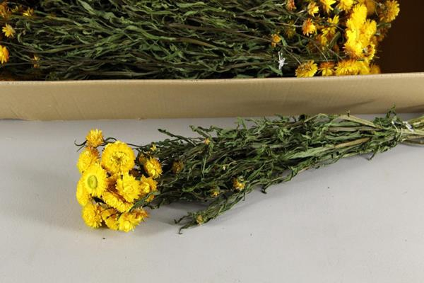 <h4>Df Helichrysum Yellow Bs</h4>