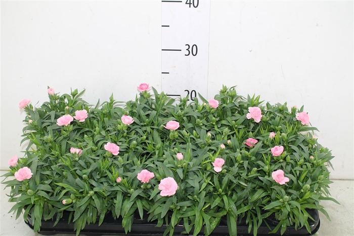 <h4>Dianthus Pink</h4>