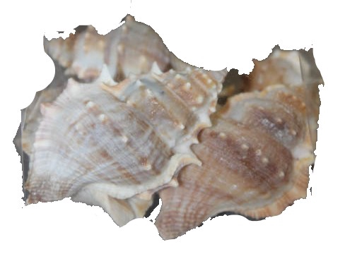<h4>Shell White chimmam 1 kg in poly</h4>