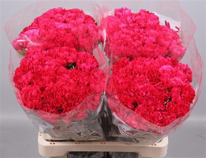 <h4>Dianthus st. Bizet</h4>