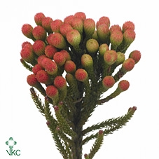 Brunia laevis red