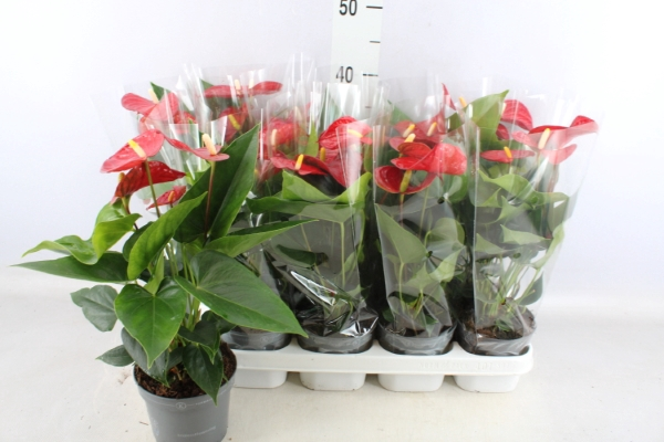 <h4>Anthurium andr. 'Karma Red'</h4>