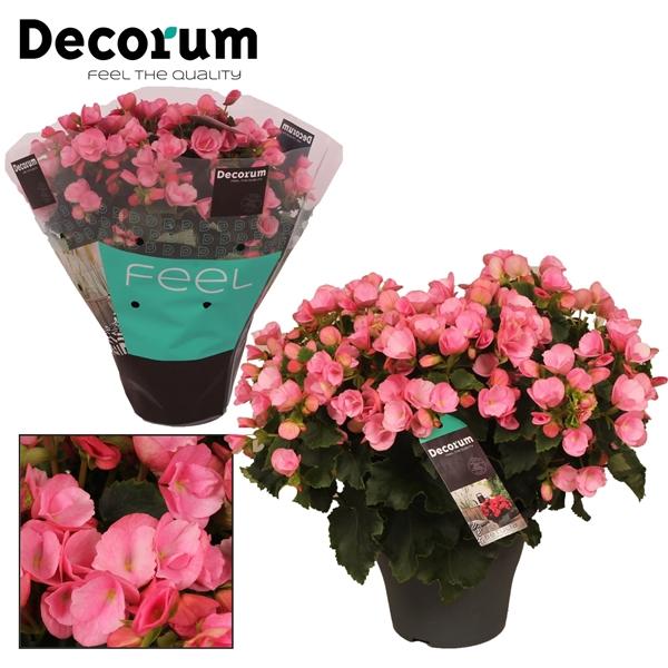 <h4>Begonia  betulia  ''candy''  roze Decorum</h4>