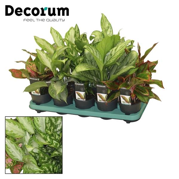 <h4>Aglaonema mix</h4>