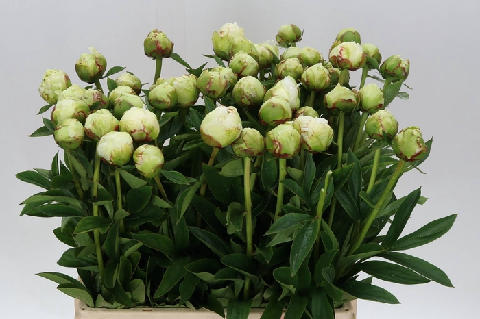 <h4>Paeonia L Ivory Victory</h4>