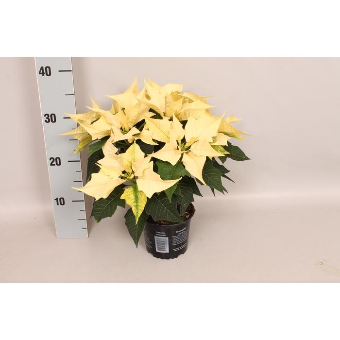 <h4>Poinsettia 13 cm WINTERSUN</h4>