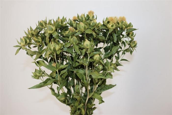 <h4>Dried Carthamus Green</h4>