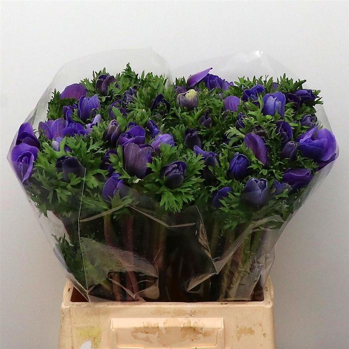 <h4>Anemone cor. 'Mistral Plus Dk Blue'</h4>