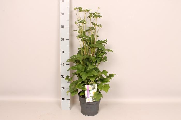<h4>vaste planten 19 cm  Anemone Whirlwind</h4>