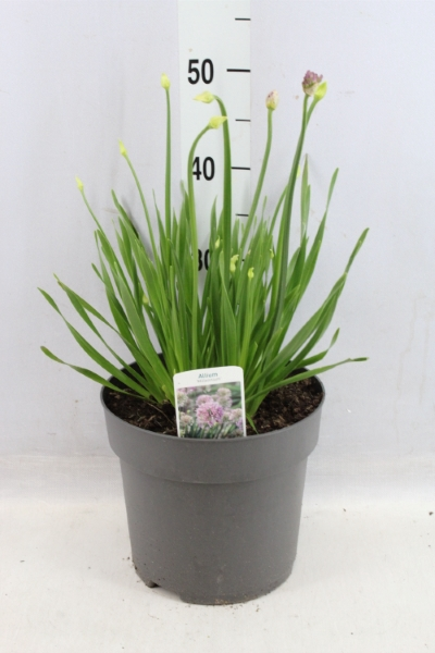 <h4>Allium   ...</h4>