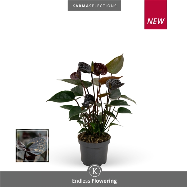 <h4>Anthurium Black Love</h4>