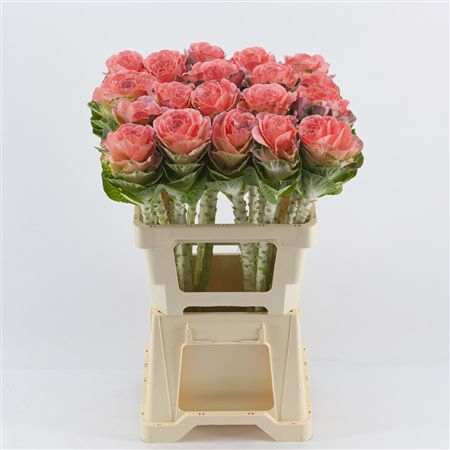 <h4>Brassica Pink</h4>